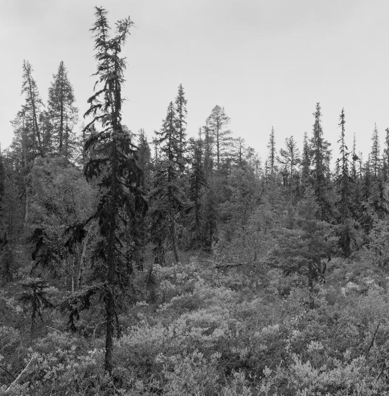 Фотовыставка Пера Бернтсена «Лес»